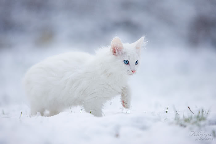 White Cats With Blue Eyes In Snow - 26.9KB